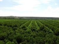 Lush pecan orchard