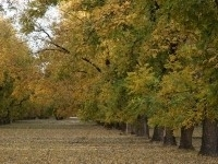 Pecan tree orchard in fall