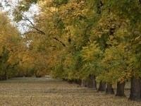 Pecan tree orchard in fall