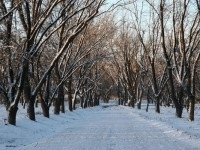 Pecan tree orchard in winter
