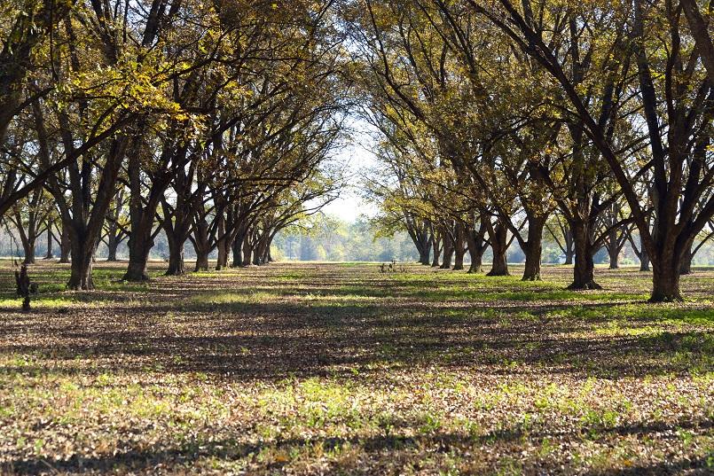 Pecan tree orchard