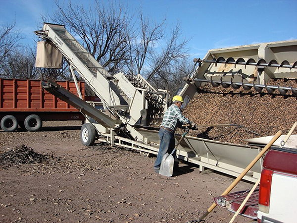 Pecan grower sorting fresh pecans