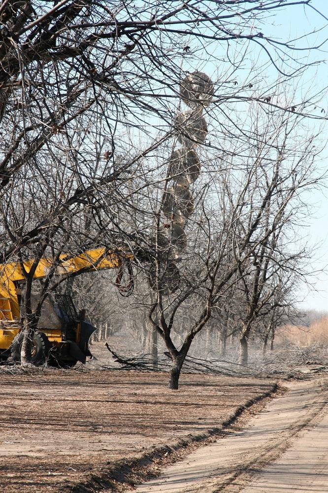 Pecan farmers pruning trees