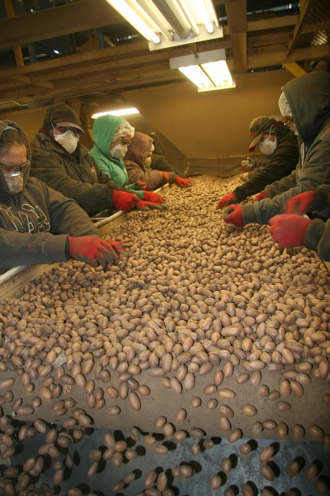 Pecan growers sorting pecans at shelling plant