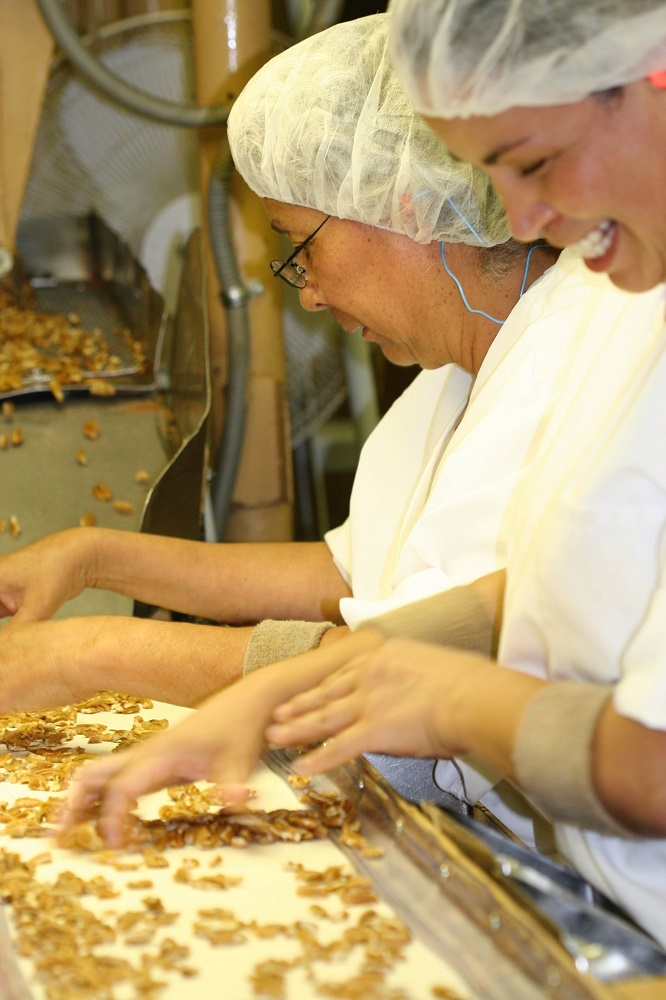 Processing light pecans at the pecan shelling plant