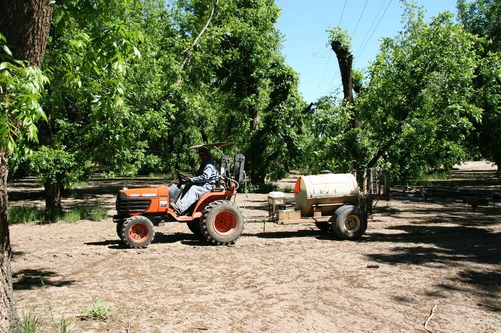 Pecan farmer fertilizing the pecan trees