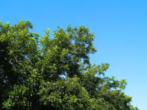 Growing high quality pecans trees