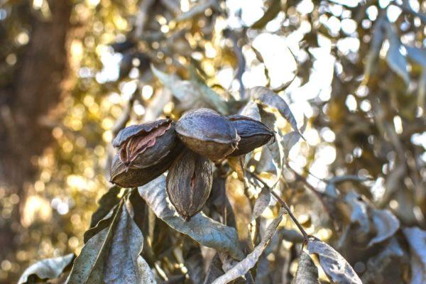 history of pecans